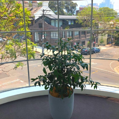 kauri pine concrete cone in office