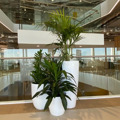 kentia palm zanzibar gem and janet craig cluster in client atrium