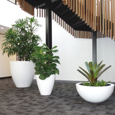 rhaphis fiddle leaf fig bromeliad in white cones and wok bowl 2
