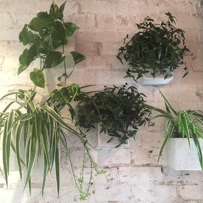 spider plant devils ivy tahitian bridal veil white square wall pots