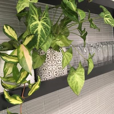 syngonium hoya custom pots office display