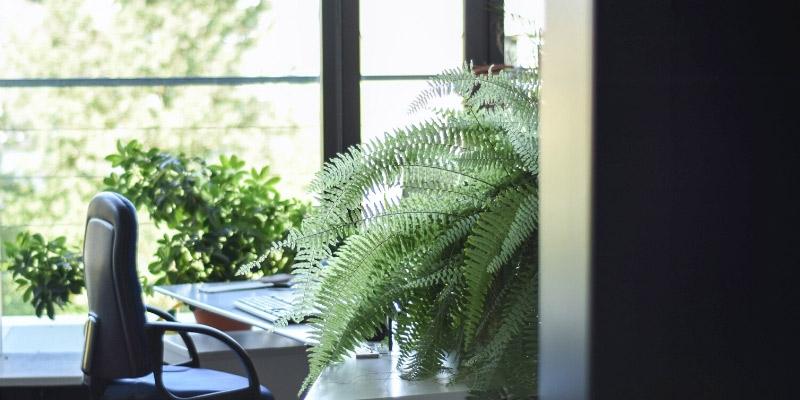 rental plants for office boston fern