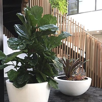 fiddle leaf fig in large white pot and bromeliad in wok bowl - Indoor Plant Hire | Office Plant Hire Sydney