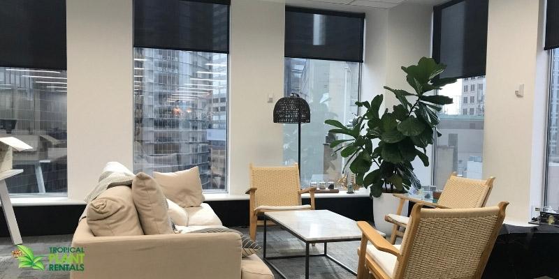 Indoor office plant Sydney office ficus lyrata